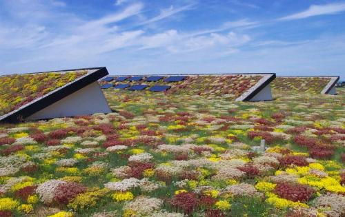 Extensive Dachbegrünung auf dem Dach des Turnleistungszentrums Buttenwiesen